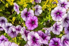 Bakgrund av blommande petunior Fotografering för Bildbyråer