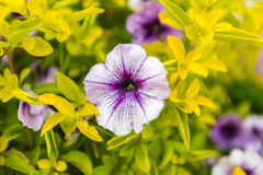 Bakgrund av blommande petunior Royaltyfri Bild