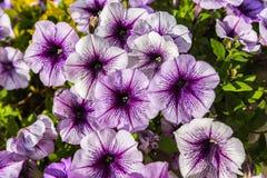 Bakgrund av blommande petunior Royaltyfria Foton