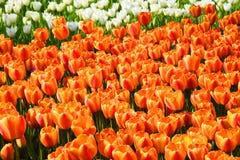Bakgrund av blommande tulpan carpet tulpan Rabatt av tulpan Sätta in av tulpan Arkivbilder