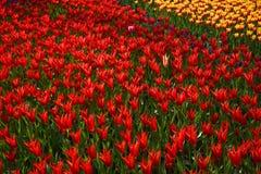 Bakgrund av blommande tulpan carpet tulpan Rabatt av tulpan Sätta in av tulpan Fotografering för Bildbyråer