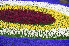 Bakgrund av blommande tulpan carpet tulpan Rabatt av tulpan Sätta in av tulpan Arkivfoto