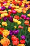 Bakgrund av blommande tulpan carpet tulpan Rabatt av tulpan Sätta in av tulpan Royaltyfria Bilder