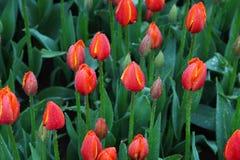Bakgrund av blommande tulpan carpet tulpan Rabatt av tulpan Sätta in av tulpan Arkivbild