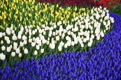 Bakgrund av blommande tulpan carpet tulpan Rabatt av tulpan Sätta in av tulpan Royaltyfri Fotografi