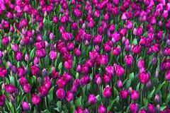 Bakgrund av blommande tulpan carpet tulpan Rabatt av tulpan Sätta in av tulpan Royaltyfria Foton