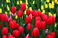 Bakgrund av blommande tulpan carpet tulpan Rabatt av tulpan Sätta in av tulpan Royaltyfri Foto
