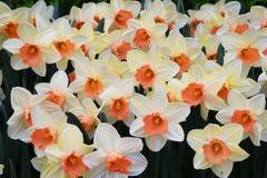 Bakgrund av blommande tulpan carpet tulpan Rabatt av tulpan Sätta in av tulpan Arkivfoton