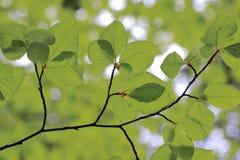 Bakgrund av bokträdlövverk i skog arkivfoton
