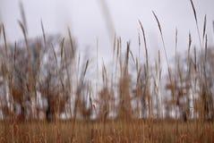 Bakgrund av bruna stjälk av torrt gräs på en grå himmel royaltyfri bild