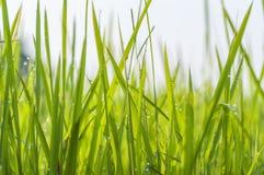 Bakgrund av daggdroppar på ljust - grönt gräs fotografering för bildbyråer