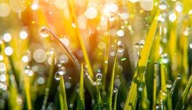 Bakgrund av daggdroppar på ljust - grönt gräs med solstrålen Ljus naturlig bokeh Arkivfoton