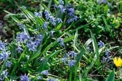 Bakgrund av den blommande våren blommar Scilla royaltyfri fotografi