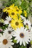Bakgrund av den färgrika vit tusenskönan för guling och blommar Royaltyfria Foton