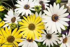 Bakgrund av den färgrika vit tusenskönan för guling och blommar Royaltyfri Foto