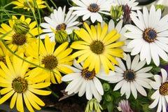 Bakgrund av den färgrika vit tusenskönan för guling och blommar Fotografering för Bildbyråer