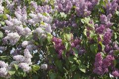 Bakgrund av den frodiga blomninglilan Arkivfoto