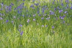 Bakgrund av den härliga blåa purpurfärgade Camas liljan blommar i äng Royaltyfri Foto