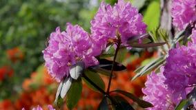 Bakgrund av den härliga blomman för rhododendron arkivfilmer