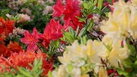 Bakgrund av den härliga blomman för rhododendron lager videofilmer