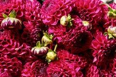 Bakgrund av den röda dahlian blommar och slår ut Royaltyfria Bilder