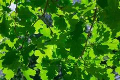 Bakgrund av eken förgrena sig med grön lövverk Arkivfoto