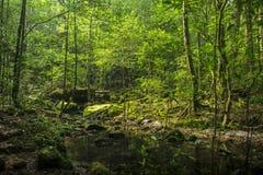 Bakgrund av en scenisk skog av nya gröna träd och den rena stren royaltyfria bilder