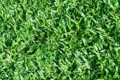 Bakgrund av en textur för grönt gräs Arkivbild