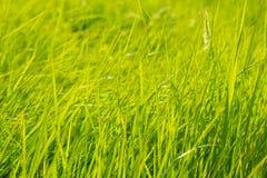 Bakgrund av ett grönt gräs Arkivbild