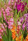 Bakgrund av Gladioli på bondemarknaden Arkivfoto