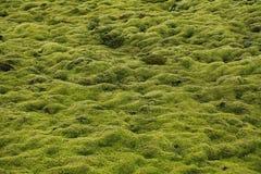 Bakgrund av grön mossa Arkivbilder