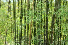 Bakgrund av gröna bambutrees Arkivbilder