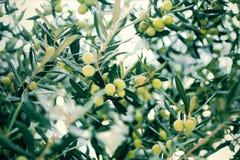 Bakgrund av gröna oliv på på ett träd, närbild med suddighet royaltyfri bild