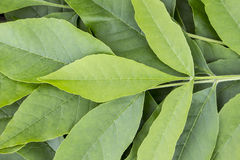 Bakgrund av gröna sidor Arkivfoto
