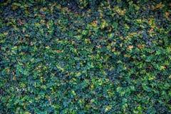Bakgrund av gröna sidor, gröna sidor i väggen arkivbilder