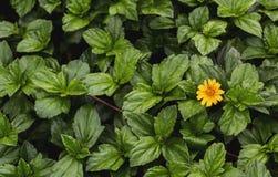 Bakgrund av gröna sidor och den gula blomman i sommaren i det tropiskt arkivbild
