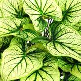 Bakgrund av gröna tjänstledighetåder Royaltyfri Foto