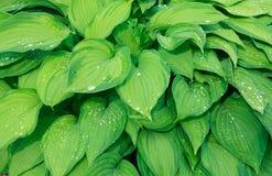 Bakgrund av grönska Arkivfoto