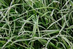Bakgrund av grönt gräs som täckas med rimfrost royaltyfri foto
