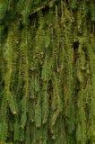 Bakgrund av granfilialer naturlig textur för abstrakt leaf för bakgrundscloseupgreen Arkivfoto