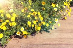 Bakgrund av gula h?rliga blommor f?r v?r Selektivt fokusera royaltyfri foto
