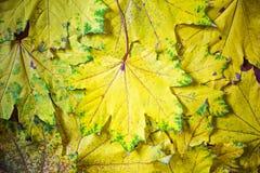 Bakgrund av gula lönnlöv, höstabstraktion, tapet royaltyfria bilder