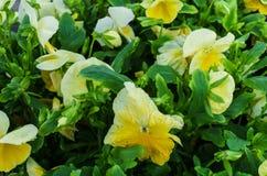 Bakgrund av gula pansies Härlig design av rabatter i sommaren arkivfoton