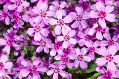 Bakgrund av härliga purpurfärgade blommor Arkivfoton