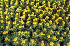 Bakgrund av härliga trädgårdgulingblommor Arkivfoton