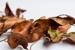 Bakgrund av isolerade Autumn Leaves - ställe för din design, text fotografering för bildbyråer