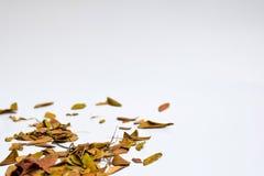 Bakgrund av isolerade Autumn Leaves - ställe för din design, text arkivfoto
