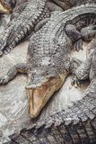 Bakgrund av krokodiler med öppna munnar arkivbilder