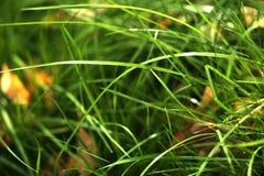 Bakgrund av ljust - grönt gräs med gula sidor Arkivbilder