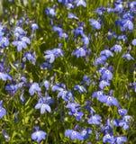 Bakgrund av många blåa blommor Royaltyfria Foton
